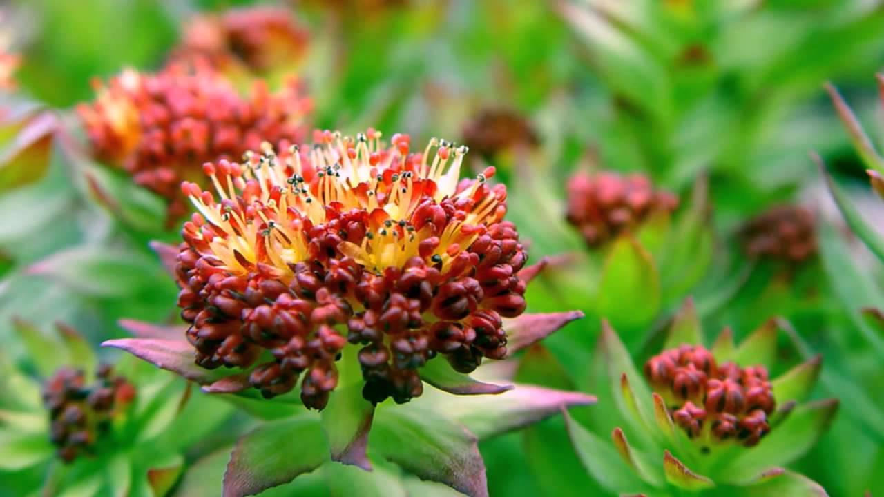 Уникальные свойства корневища родиолы розовой